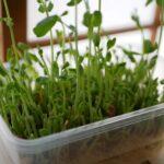 人気の「豆苗(とうみょう)」の栄養と育て方